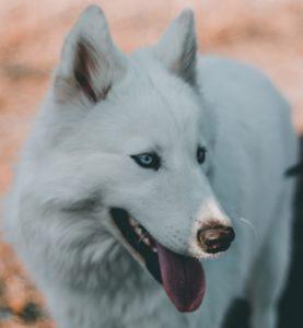 Wolf des Nordlandes